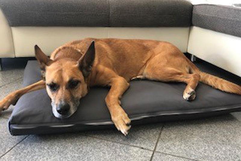 Pina auf AnubiMed Hundebett Größe L